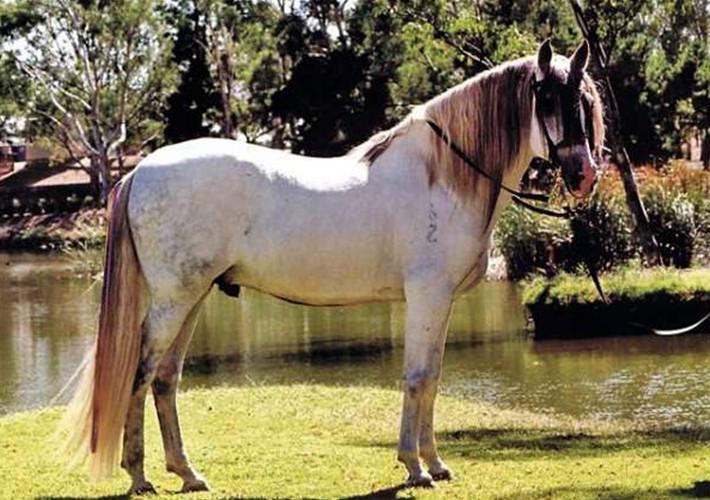 Андалузская лошадь на фоне воды