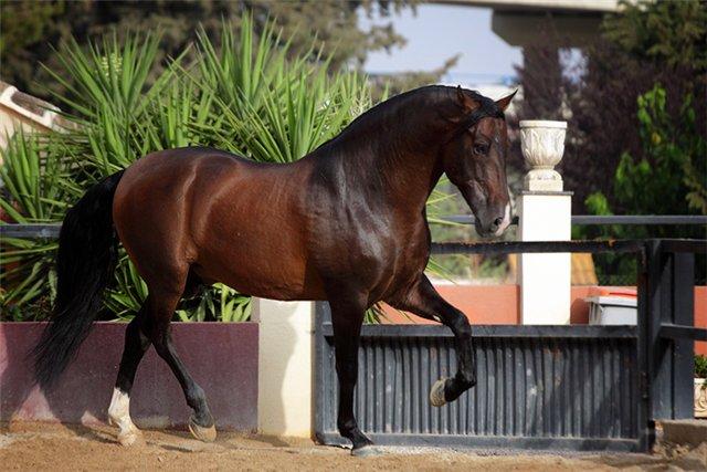 Андалузская порода лошадей - фото 1