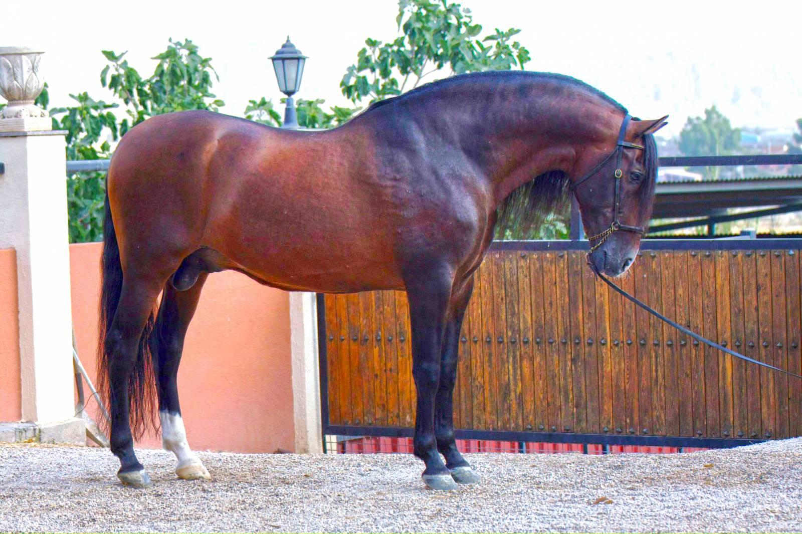 Андалузская порода лошадей - фото 2