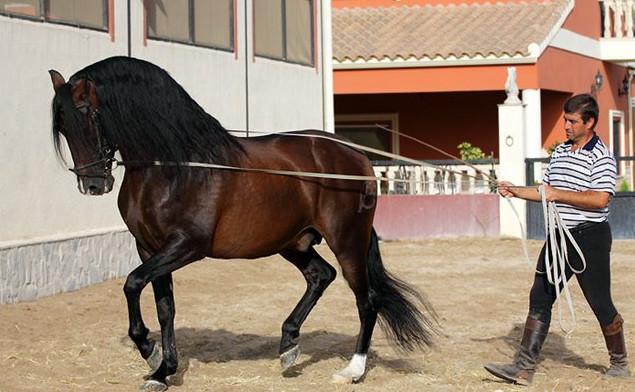Андалузская порода лошадей - фото 3