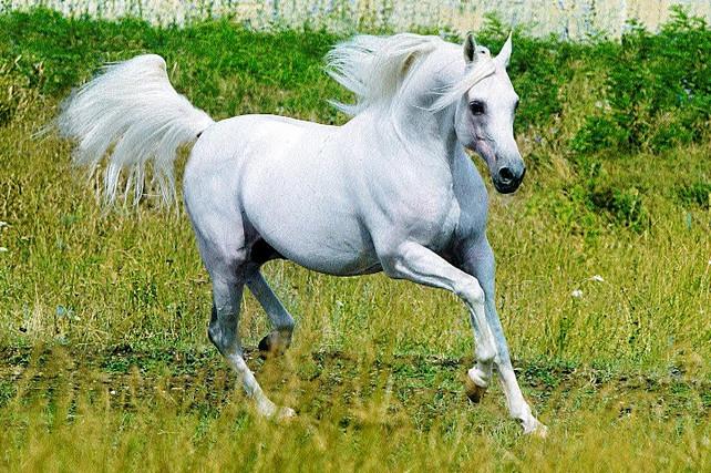 Арабская лошадка