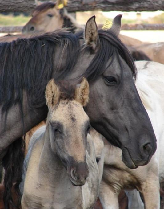 Башкирские лошади близко