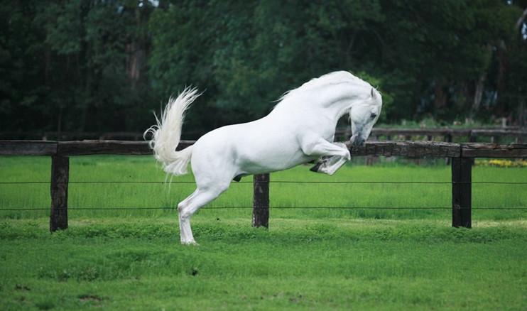 Белый андалузский жеребец