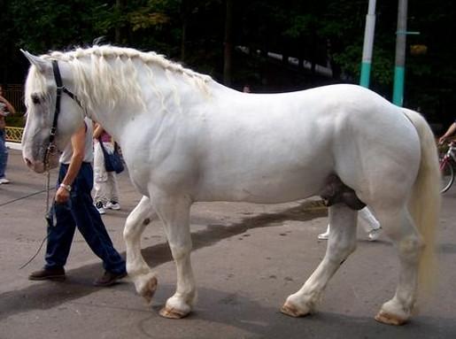 Белый першерон