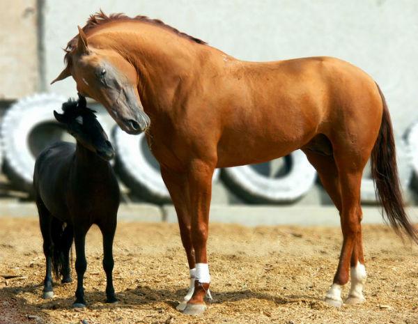 Донская лошадь и жеребенок