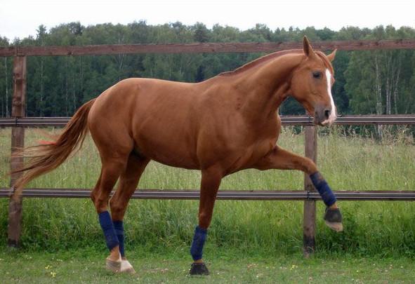 Донская лошадь в загоне