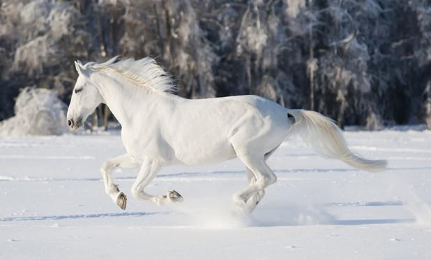 Фото белоснежного орловского рысака