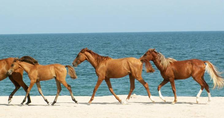 Карабахская лошадь 1
