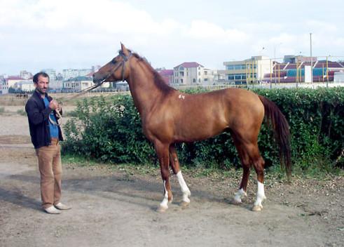 Карабахская лошадь 3