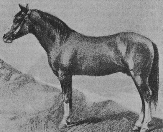 Карабахская лошадь 4