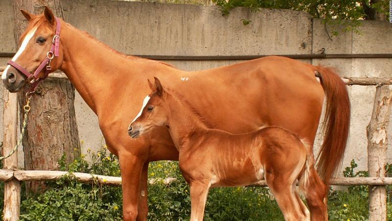 Карабахская лошадь с жеребенком
