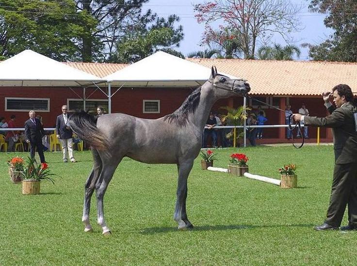 Красивый арабский конь на выставке