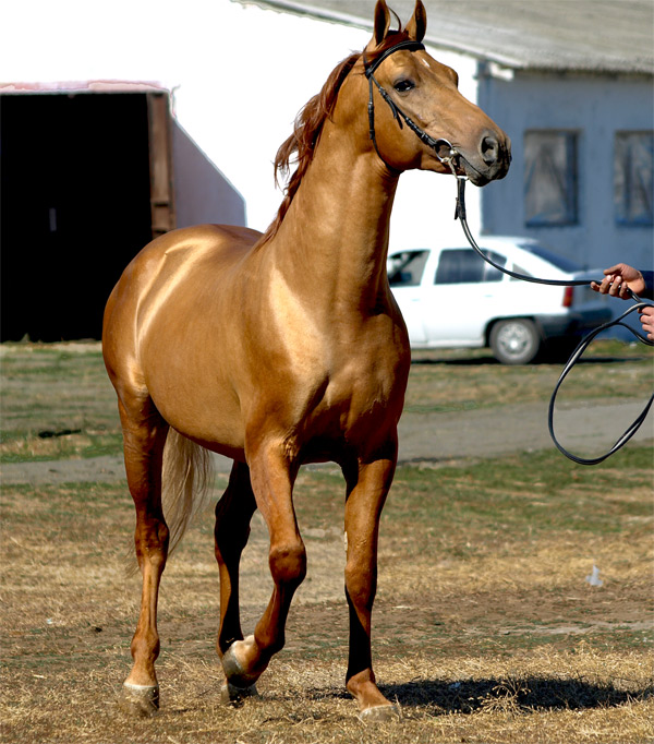 Молодая донская лошадь