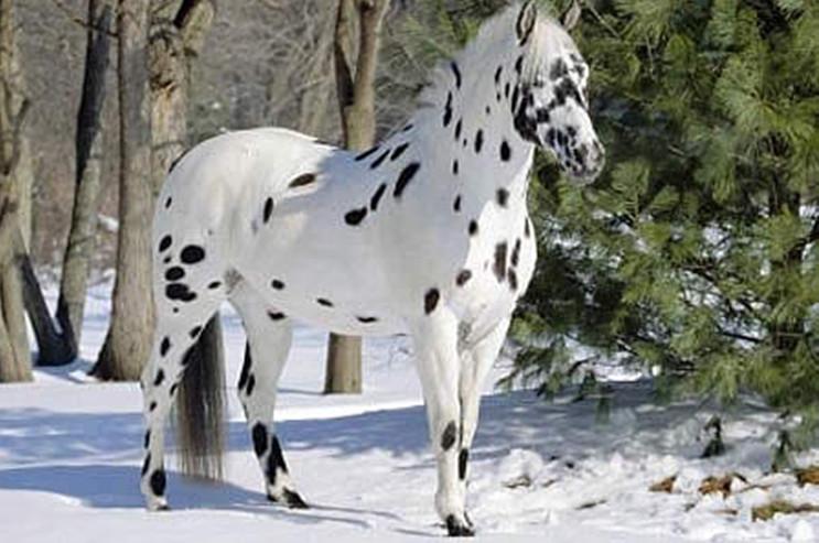 Очаровательная лошадь Аппалуза