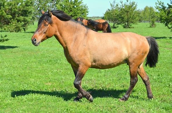 Спокойная башкирская лошадь