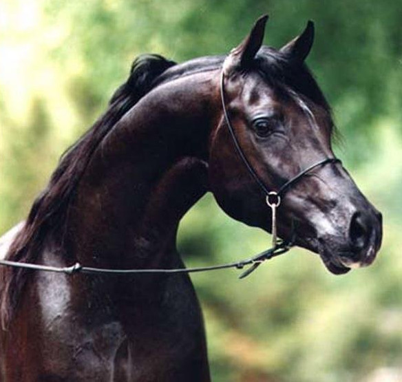 Улыбчивый арабский конь