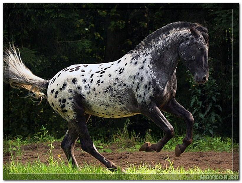 Алтайская порода