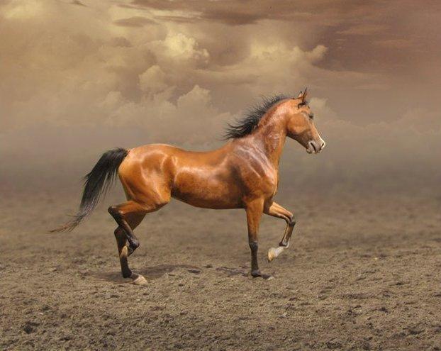 Арабская порода лошади