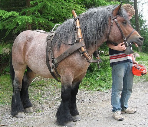 арденская лошадь 2