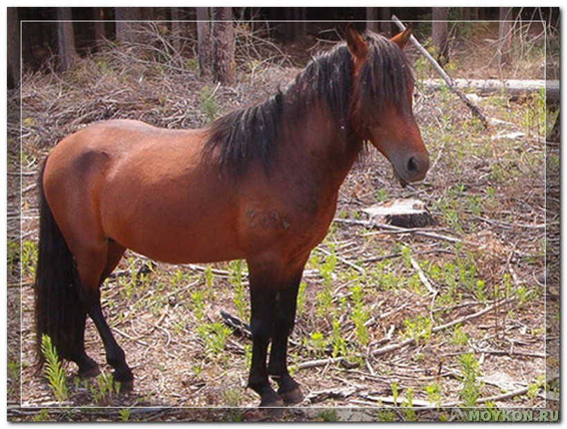 Азорская лошадь