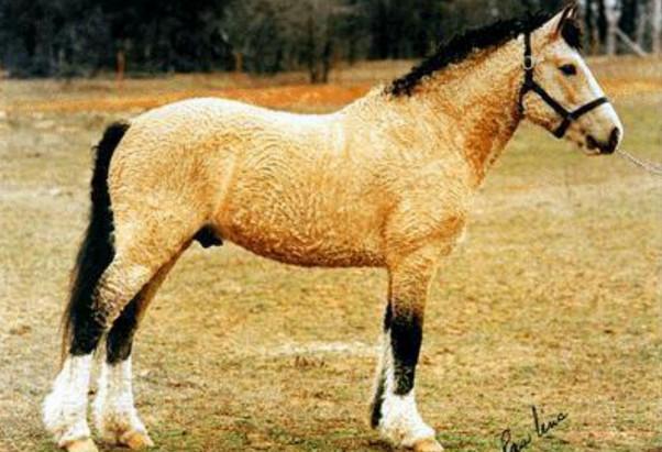 башкирская порода лошадей 2