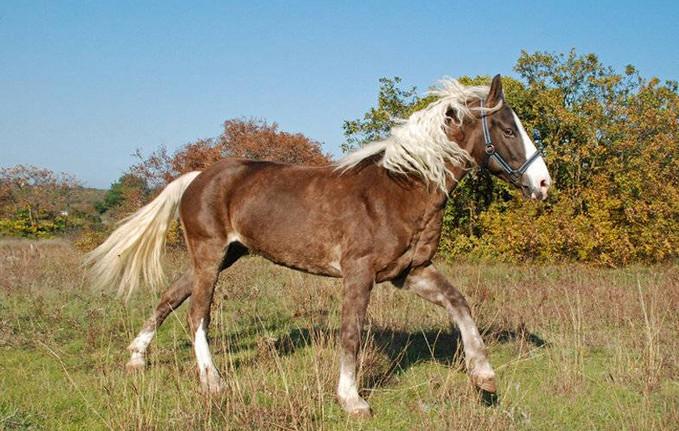 башкирская порода лошадей 3