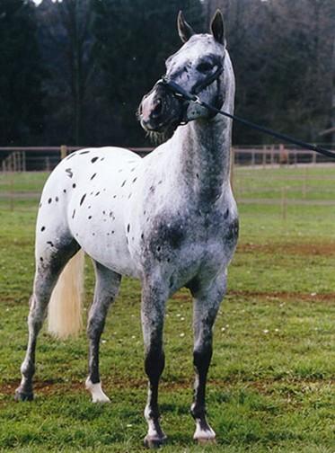 Чубарый конь