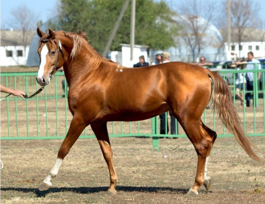 донская лошадь 1