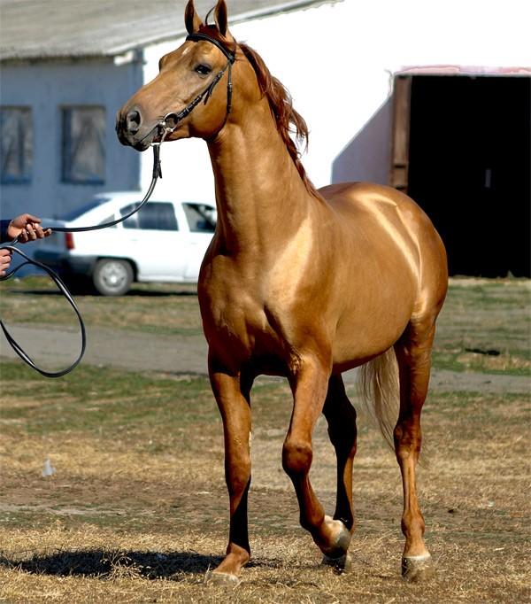 донская лошадь 2