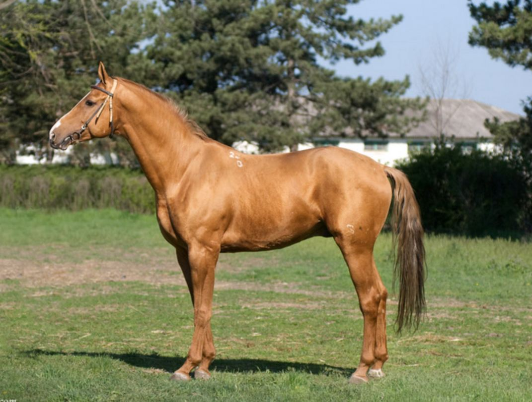 донская лошадь 3