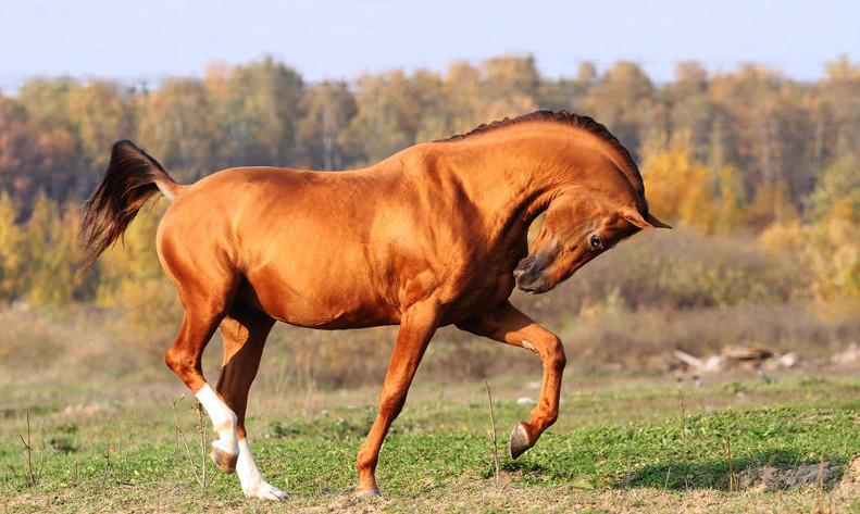 донская лошадь 4