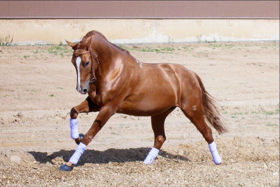 донская лошадь 5