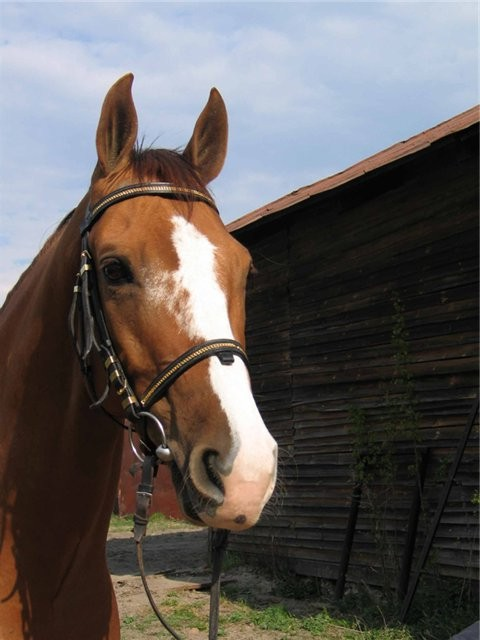 донская лошадь - мордашка