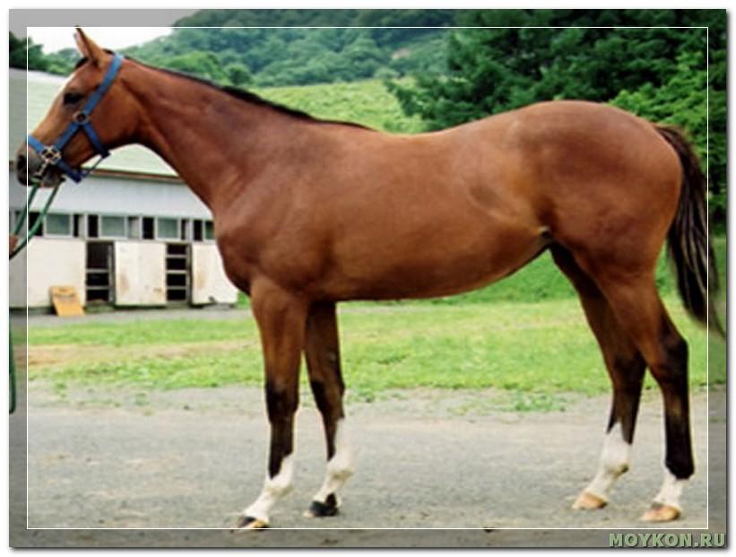 Карабахская лошадь