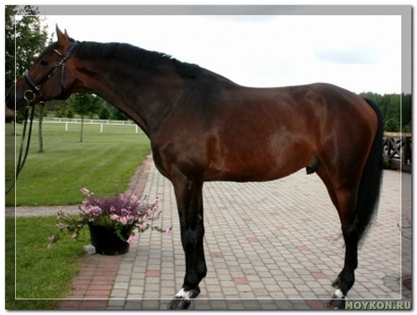 Латвийская лошадь