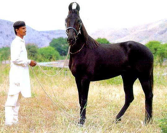 Лошади марвари