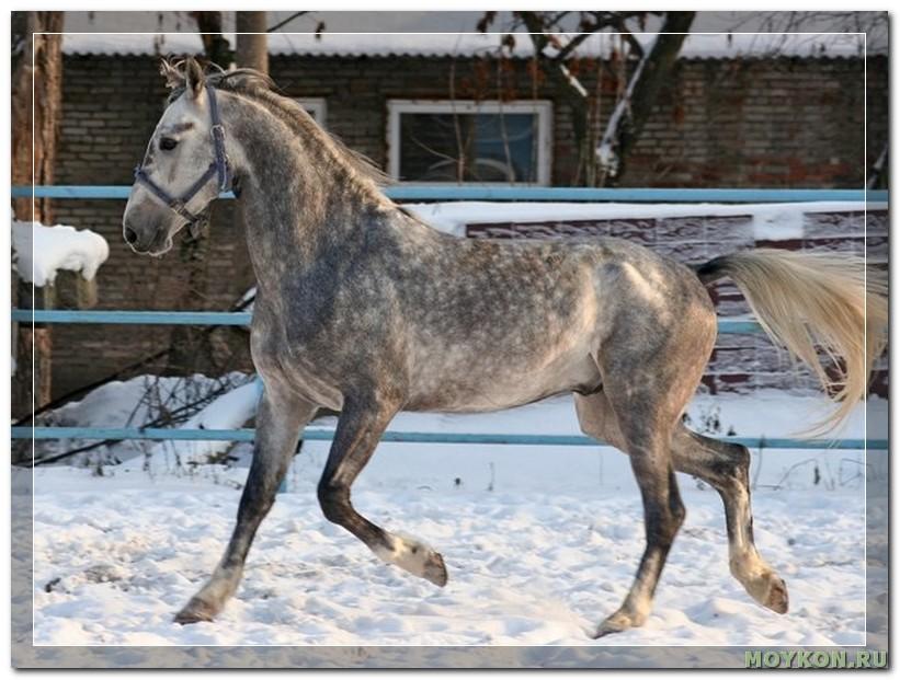 Орловский рысак (орловская рысистая) - все о породе лошади