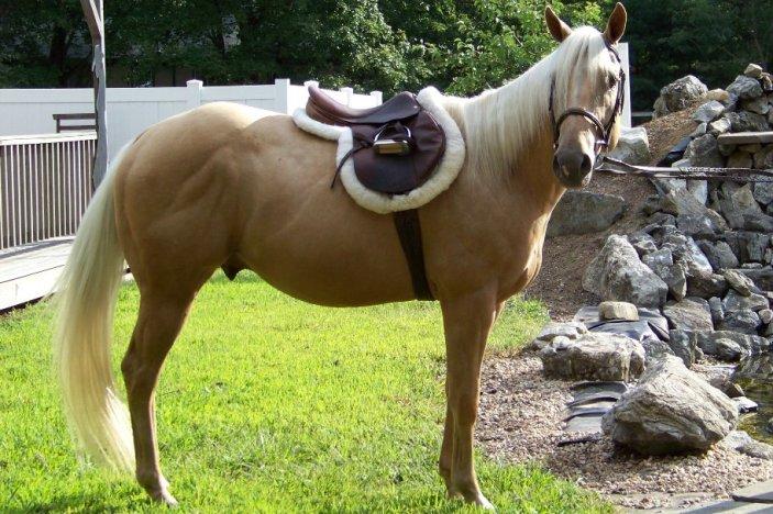 Паламино - лошадь соловая