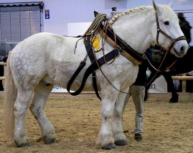 Лошади першероны фото