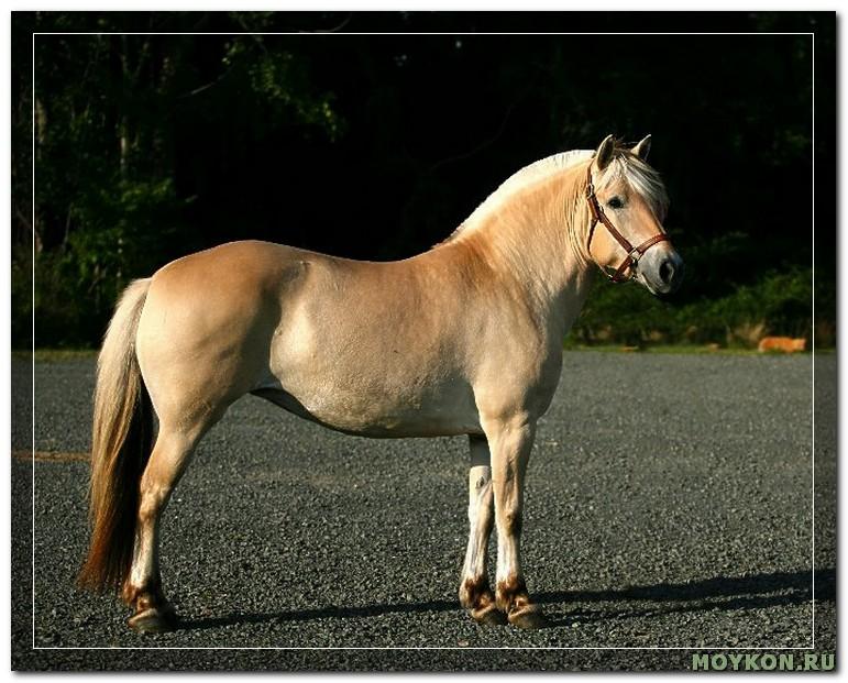 Фьордская лошадь