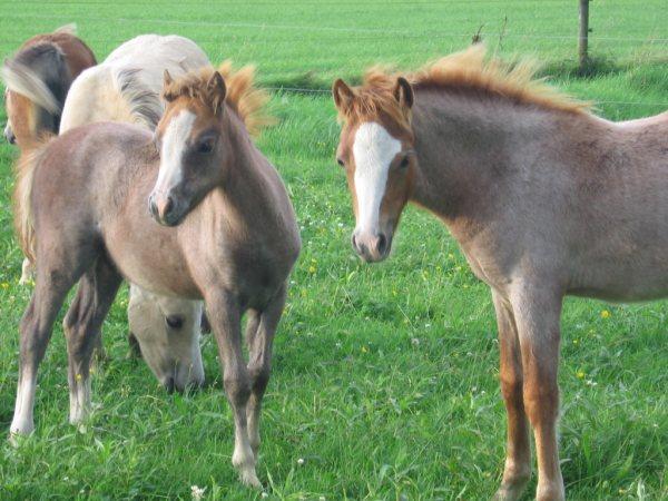 Рис 3. Лошади рыже-чалого окраса