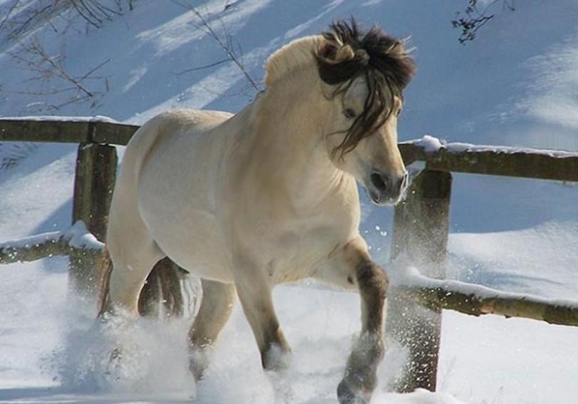 Саврасый конь фьорд