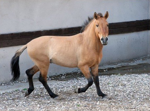 Саврасый окрас у лошади Пржевальского