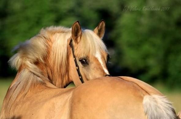 Солово-саврасая лошадь