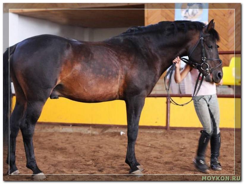 Жемайтская лошадь