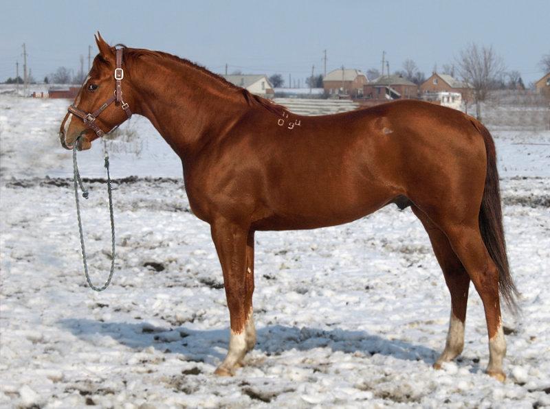 Буденновская лошадь 5
