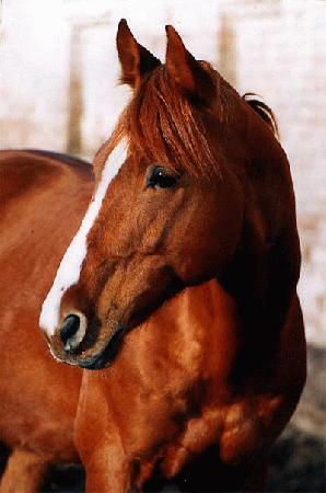 Буденновская лошадь 7