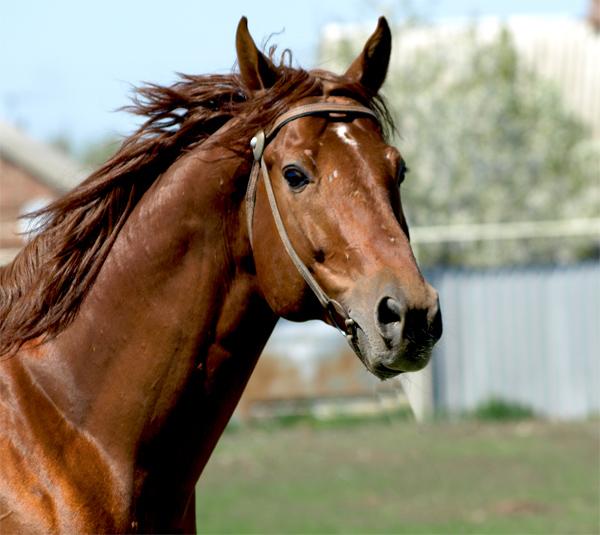 Буденновская лошадь - мордашка