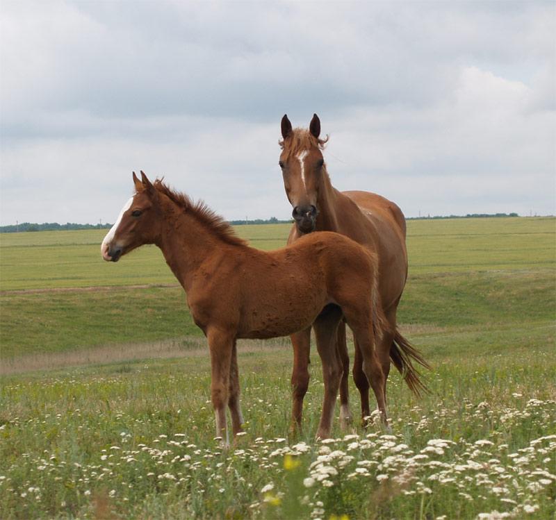 Буденновская лошадь с жеребенком