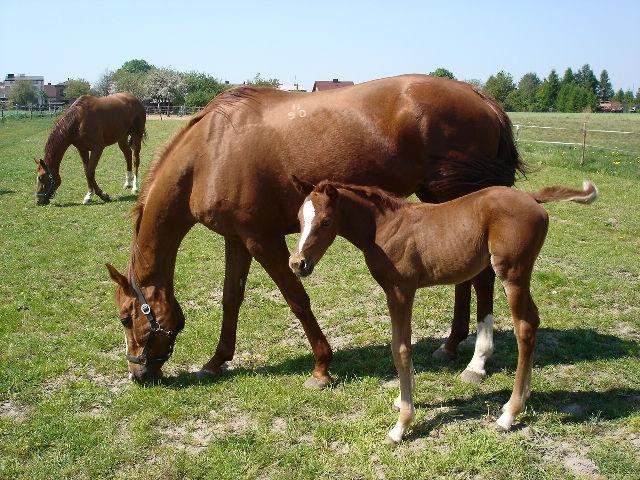 Буденновские лошади пасутся